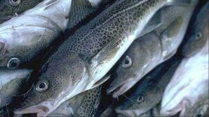 Cod_Fish_Food_Health_Article_Doctorfolk