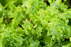 Lettuce foods rich in Vitamin A